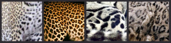 leopard-picnik-collage